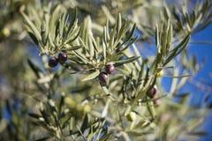 Oliwki na drzewie oliwnym w jesieni. Sezon natury wizerunek fotografia royalty free