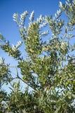 Oliwki na drzewie oliwnym w jesieni. Sezon natury wizerunek obrazy stock