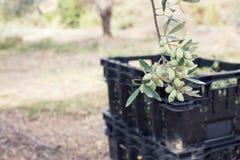 Oliwki na drzewo oliwne gałąź Obrazy Royalty Free