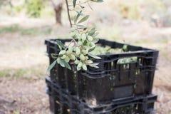 Oliwki na drzewo oliwne gałąź Szczegółu zbliżenie zielone oliwki z selekcyjną ostrością na rhe tle z oliwkami Obrazy Stock