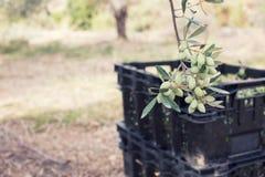 Oliwki na drzewo oliwne gałąź Szczegółu zbliżenie zielone oliwki z selekcyjną ostrością na rhe tle z oliwkami Zdjęcia Stock