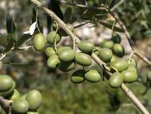 Oliwki w drzewie - zieleń Zdjęcie Royalty Free