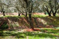 Oliwna żniwo metoda w Calabria Fotografia Royalty Free