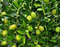 Oliwna owoc Zdjęcie Royalty Free
