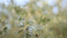 oliwne gałęziaste owoc Oliwni gaje i ogródy w Montenegro zbiory