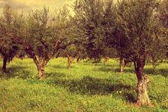Oliwni drewna z zieloną trawą Kalamata, Grecja Obrazy Royalty Free