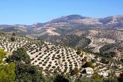 Oliwni gaje, Andalusia, Hiszpania. Zdjęcia Royalty Free