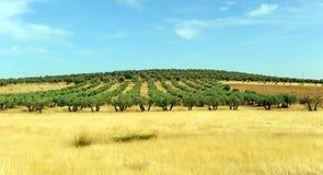 Oliwni gaje i zboża w Castilla losie angeles Mancha, Hiszpania Obraz Stock