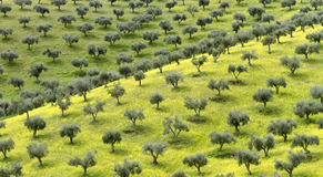 Oliwa z oliwek Fotografia Stock