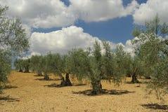 Oliwny gaj Zdjęcie Stock