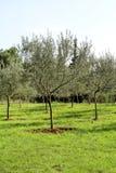 Oliwny gaj Pojęcie oliwki, tradycja Oliwny dorośnięcie Widok oliwny gaj przed zbierać oliwki Obrazy Royalty Free