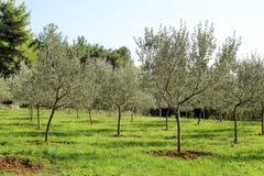 Oliwny gaj Pojęcie oliwki, tradycja Oliwny dorośnięcie Widok oliwny gaj przed zbierać oliwki Zdjęcia Stock