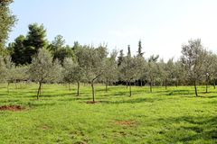 Oliwny gaj Pojęcie oliwki, tradycja Oliwny dorośnięcie Widok oliwny gaj przed zbierać oliwki Zdjęcie Royalty Free