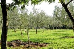 Oliwny gaj Pojęcie oliwki, tradycja Oliwny dorośnięcie Widok oliwny gaj przed zbierać oliwki Obraz Stock