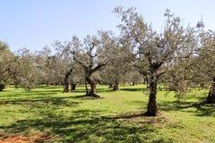 Oliwny gaj Pojęcie oliwki, tradycja Oliwny dorośnięcie Widok oliwny gaj przed zbierać oliwki Fotografia Royalty Free
