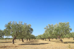 Oliwny gaj w Grecja Fotografia Stock