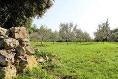 Oliwny gaj z kamienia ogrodzeniem Pojęcie oliwki Oliwny dorośnięcie Widok oliwny gaj przed zbierać oliwki Zdjęcia Royalty Free
