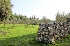 Oliwny gaj z kamienia ogrodzeniem Pojęcie oliwki Oliwny dorośnięcie Widok oliwny gaj przed zbierać oliwki Fotografia Stock