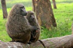 Oliwny pawian, Jeziorny Nakuru park narodowy, Kenja Zdjęcia Stock