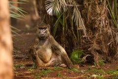 Oliwny pawianu obsiadanie na ziemi pod drzewkiem palmowym Obrazy Stock