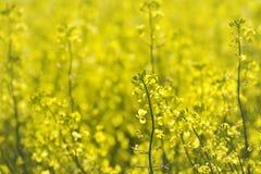 olja-innehåller växten arkivbilder
