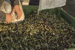 Olja och oliv Cilento Campania Aquara (det) Extra jungfrulig oliv Arkivbild