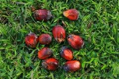 Olje- gömma i handflatan frukt Fotografering för Bildbyråer