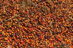 Olje- gömma i handflatan frukter Fotografering för Bildbyråer