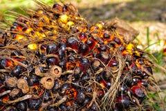 Olje- gömma i handflatan frukter Arkivfoto