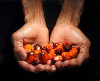 Olje- händer som rymmer, gömma i handflatan frukt Royaltyfria Foton