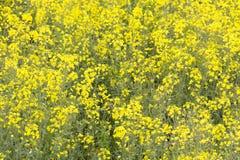 Olje- kärna ur våldtar växter i full ram för blom Arkivfoto