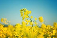 Oljefrörapsfröt blommar i kultiverat jordbruks- fält arkivfoton