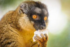 Сollared brown lemur Stock Photos
