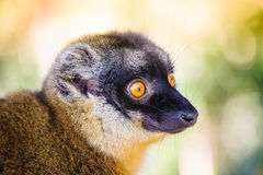 Сollared brown lemur Royalty Free Stock Photos