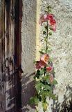 Ollyhock wzdłuż kamiennej ściany Obrazy Royalty Free