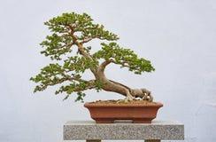 Olmo chino Bonzai foto de archivo libre de regalías