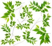 Olmo de la ramita de la primavera con las hojas del verde aisladas fotos de archivo libres de regalías