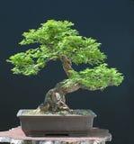Olmo di Hilllieri come bonsai Immagini Stock Libere da Diritti