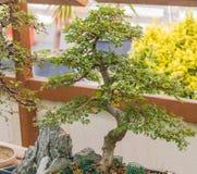 Olmo japonés del árbol del zelkova de los bonsais imagen de archivo libre de regalías