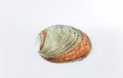 Olmo Shell Fotos de Stock Royalty Free