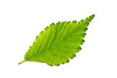 Olmo verde da folha no fundo branco Imagens de Stock Royalty Free