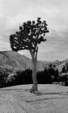 Olmsted Baum Stockfoto