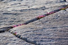Wildflowers growing in granite joints royalty free stock photo
