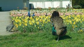 OLOMOUC, CZECH REPUBLIC, APRIL 29, 2019: Peacock Pavo cristatus, Indian blue peafowl male animal and guinea fowl and stock footage
