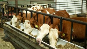 Olomouc, Czech Republic, June 11, 2019: Calf cow bio farm, feed hay grass silage trough, Czech honor Fleckvieh breed. Calf cow in cage, caring on bio farm stock video
