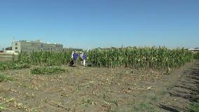 Olomouc, repubblica Ceca, il 2 settembre 2018: Raccogliendo il cereale del mais manualmente con un machete nel campo con i lavora video d archivio