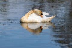 Olor adulto do cygnus da cisne muda com as penas descoloradas do sedimento de perturba??o do lago durante a alimenta??o imagens de stock