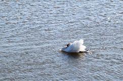 Olor Cygnus безгласного лебедя в озере мочит стоковое фото
