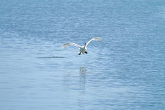 Olor Cygnus безгласного лебедя на Plaiaundi Стоковые Изображения RF