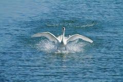 Olor Cygnus безгласного лебедя на Plaiaundi Стоковые Фотографии RF
